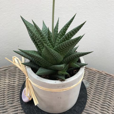 wie lang wird der stiel meiner sukkulente pflanzen. Black Bedroom Furniture Sets. Home Design Ideas