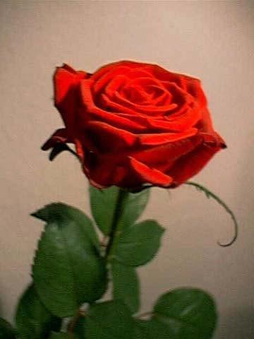 wie lange bl ht eine rose pflanzen rosen. Black Bedroom Furniture Sets. Home Design Ideas