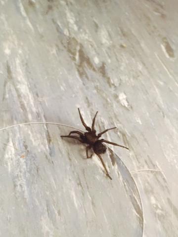 Wie lange brauchen Spinnen um zu verhungern?