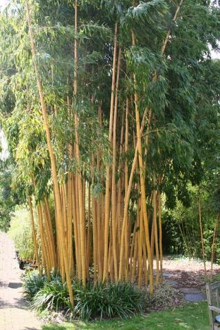 bambus - (Garten, Holz, Bambus)