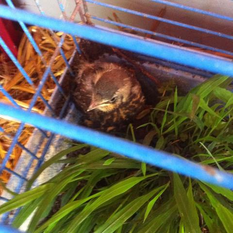 Drosselküken - (Aufzucht, Jungvogel, DrosselKüken)
