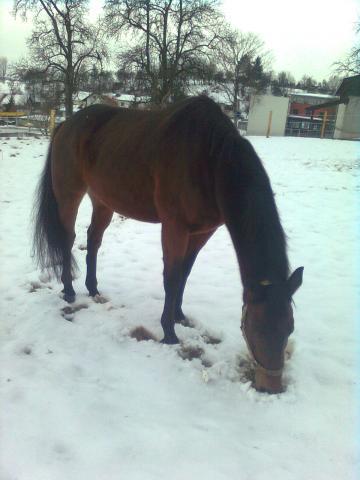 picasso auf seiner weide - (Pferde, Winter)