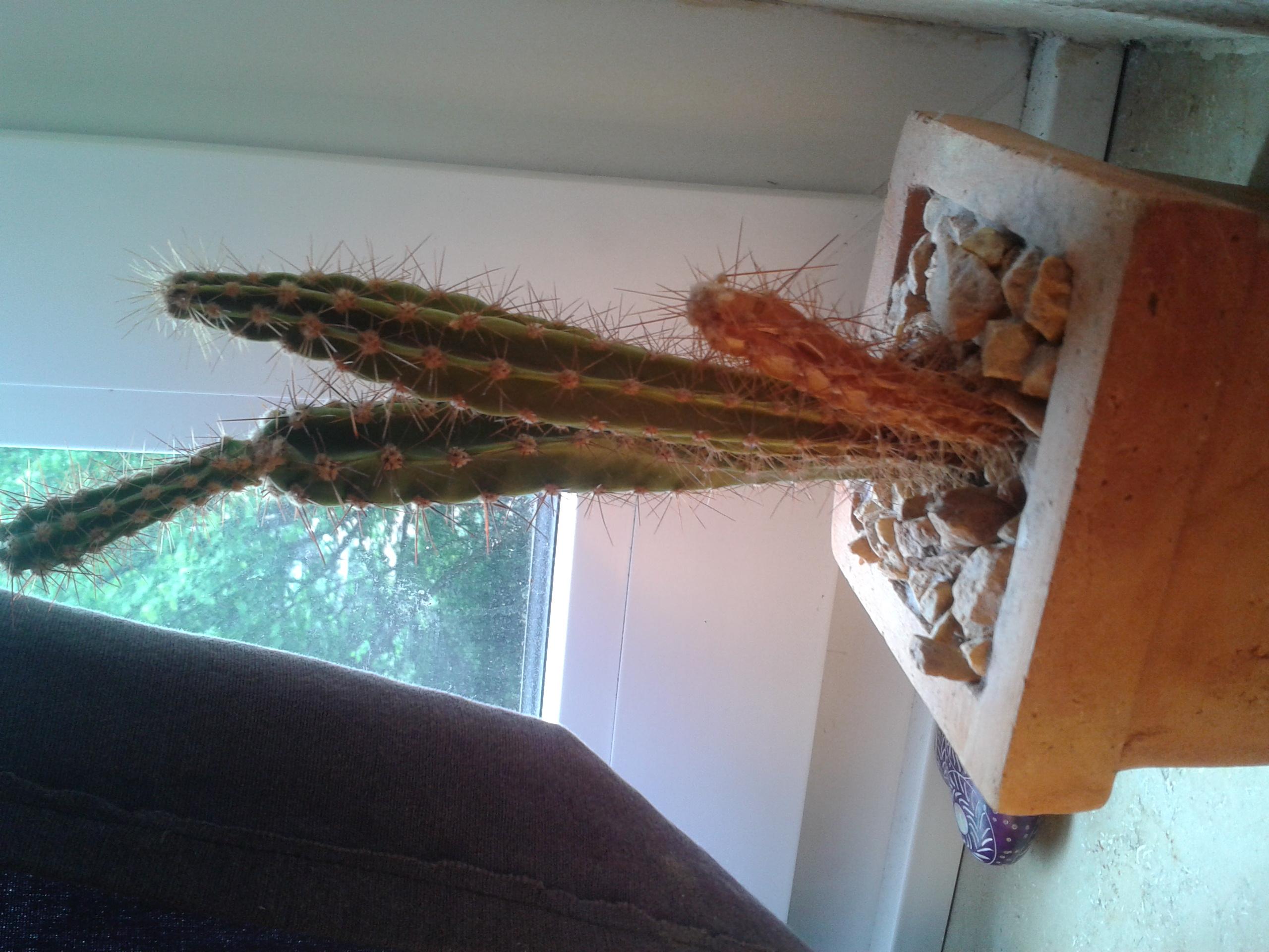 wie lange leben kakteen kaktus. Black Bedroom Furniture Sets. Home Design Ideas