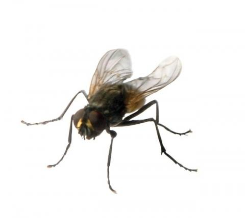 wie lange leben stubenfliegen fliegen. Black Bedroom Furniture Sets. Home Design Ideas