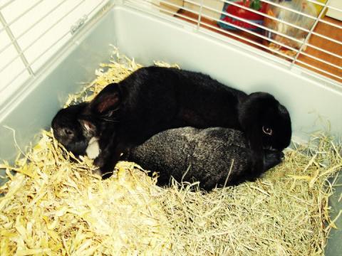 - (Kaninchen, Kastration, rammler)
