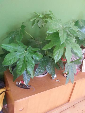 wie lautet der name dieser pflanze ist sie f r katzen giftig pflanzen gift zimmerpflanzen. Black Bedroom Furniture Sets. Home Design Ideas
