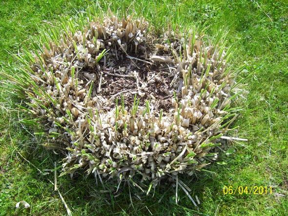 Pampasgras - (Gartenpflege, pampasgras)