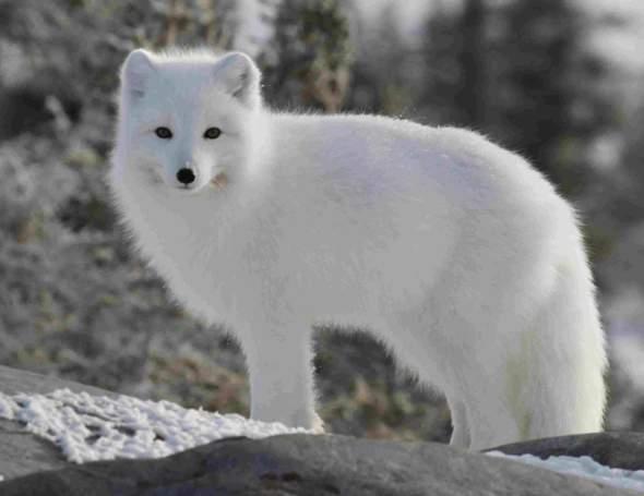 Wie nenne ich meinen Polarfuchs?