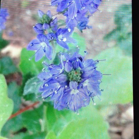 Wie Nennen Sich Diese Blümchen? (Garten, Blumen, Blau)