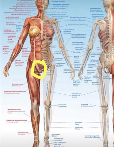 Wie nennt man die Sehne zwischen dem Bein/Oberschenkel und dem ...