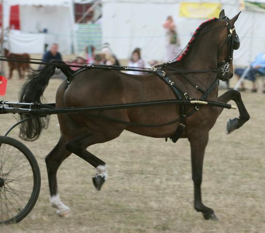 wie nennt man die vorrichtung damit der schweif bei showpferden hoch getragen wird pferde. Black Bedroom Furniture Sets. Home Design Ideas