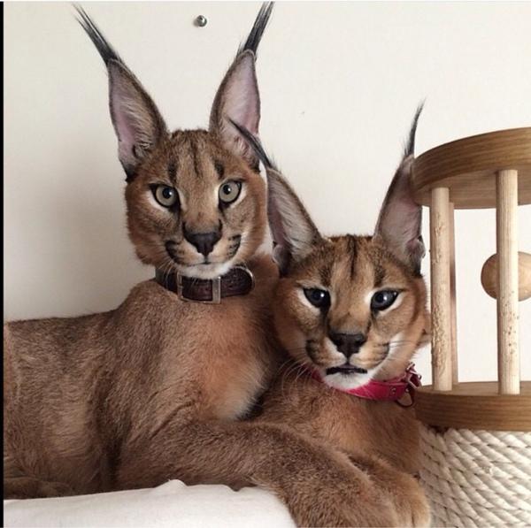 wie nennt man diese luchs hnliche katzenrasse katzen rasse. Black Bedroom Furniture Sets. Home Design Ideas