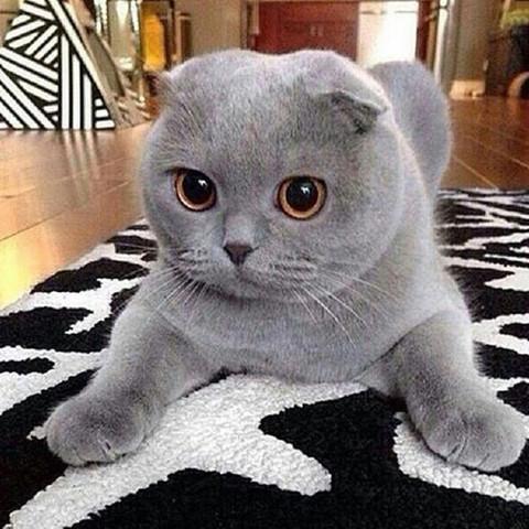 Muss nicht eins zu eins die selbe sein aber so ein aussehen  - (Tiere, kaufen, Katze)