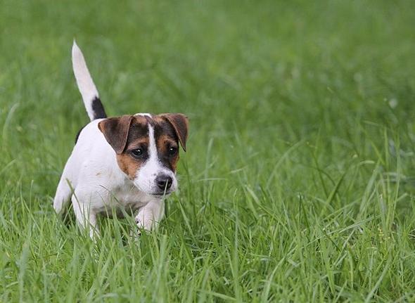 Parson russel terrier :) - (Tiere, Hund, Welpen)