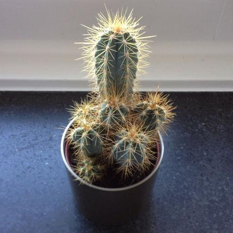 Wie oft muss ich meine Kaktus Gießen?