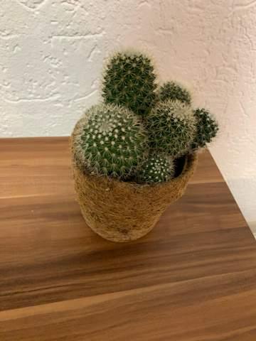 Wie oft sollte ich denn Kaktus gießen?