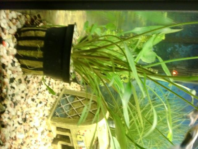 wie pflanze ich pflanzen ins aquarium tiere lernen pflege. Black Bedroom Furniture Sets. Home Design Ideas