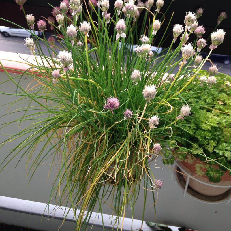 wie pflege ich am besten meinen schnittlauch pflanzen kr uter gew rze