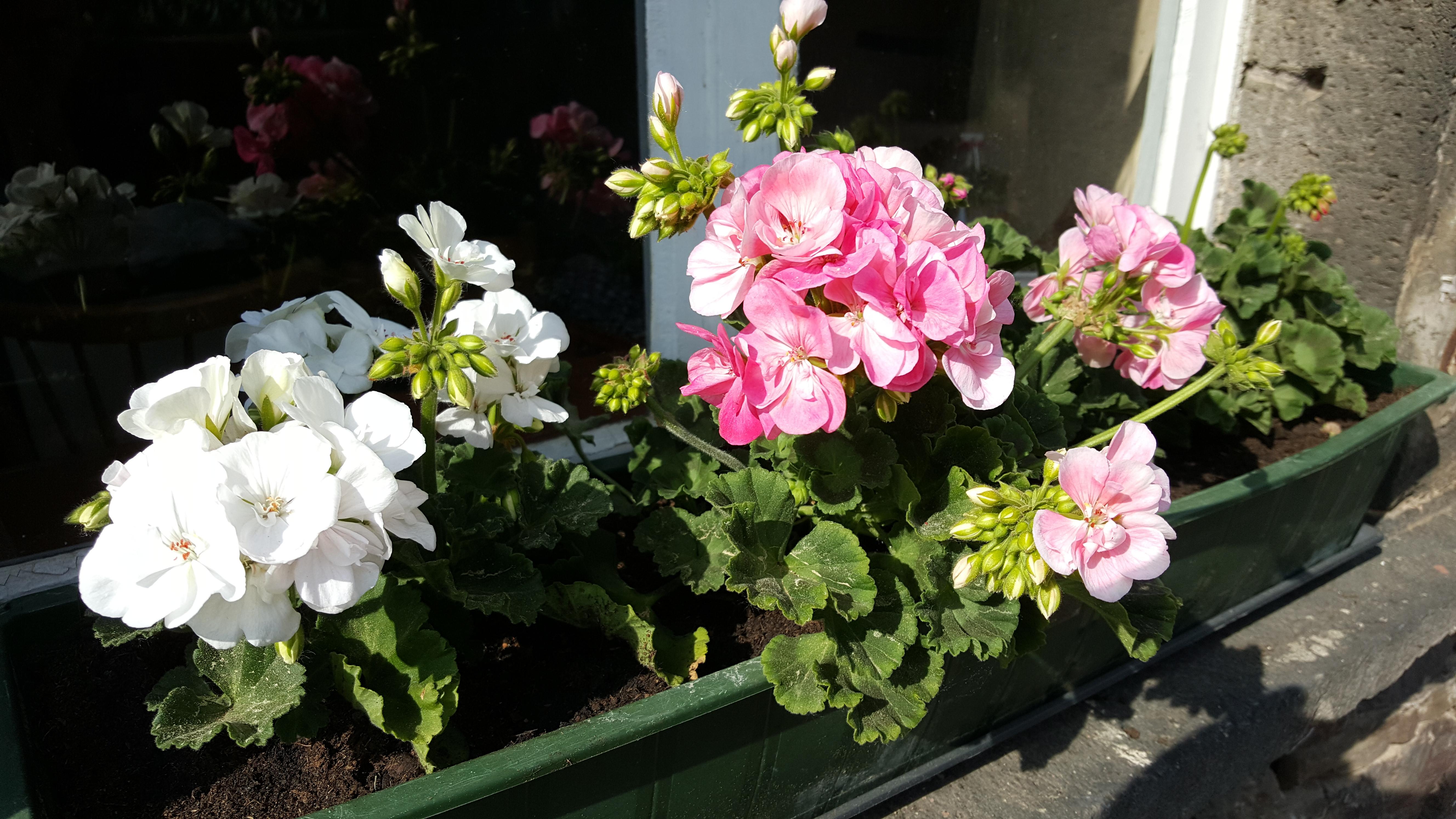 Wie Pflege Ich Meine Geranien Richtig? (Blumen, Dünger