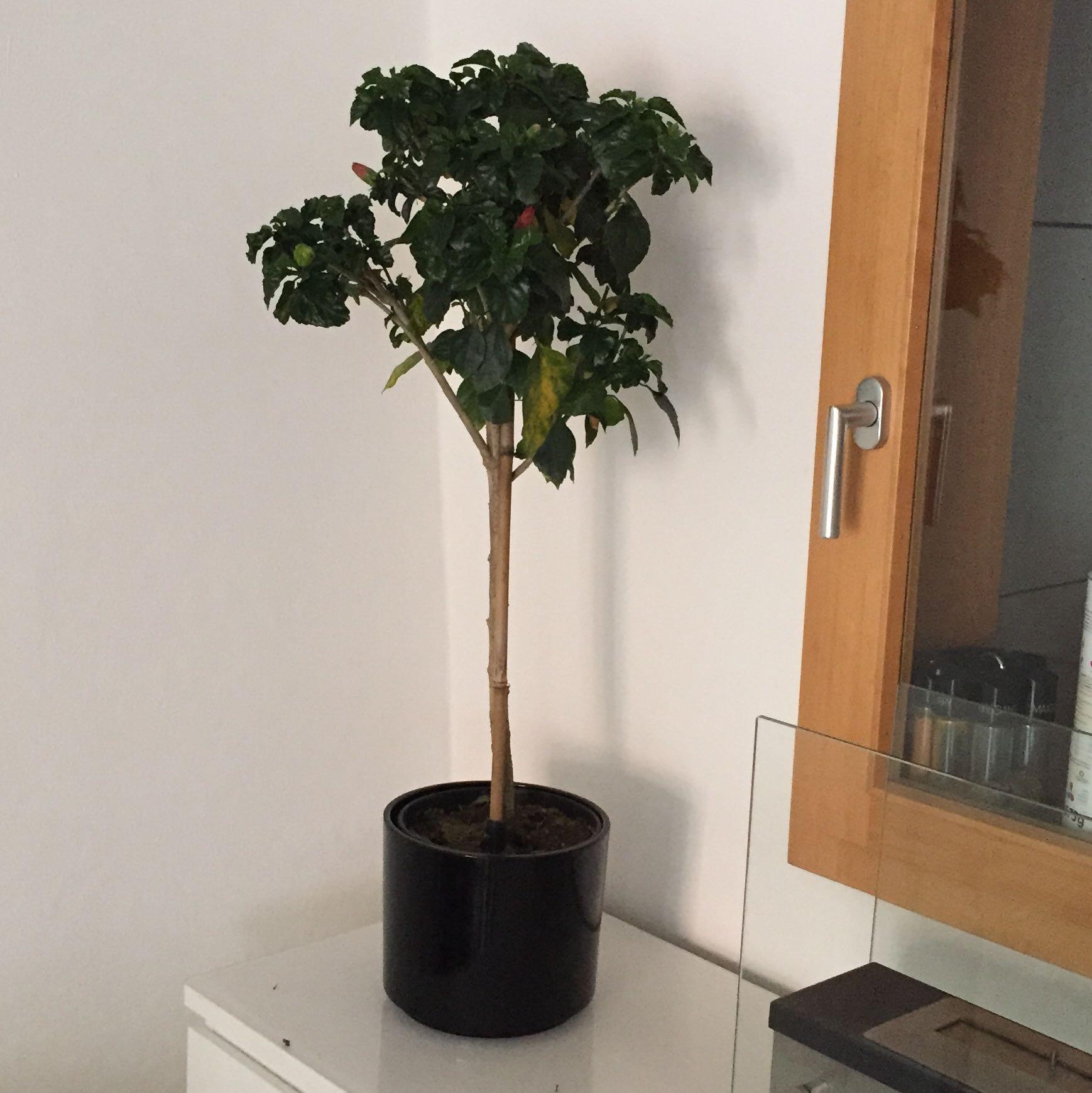 wie pflege ich meinen hibiskus in der wohnung am besten garten. Black Bedroom Furniture Sets. Home Design Ideas