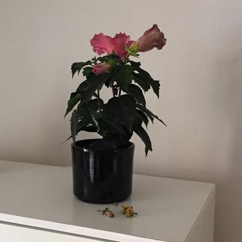 wie pflege ich meinen hibiskus in der wohnung am besten. Black Bedroom Furniture Sets. Home Design Ideas
