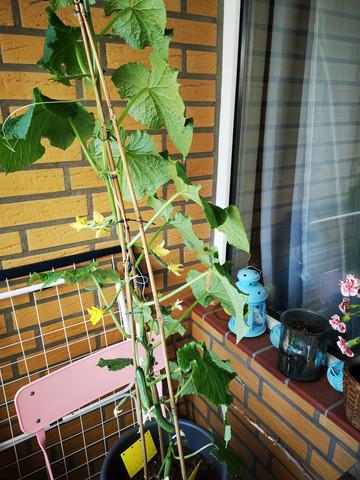 Wie Pflege und schneide ich eine Gurkenpflanze richtig?