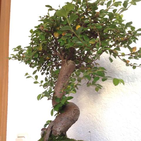 wie pflegt man einen bonsai zelkova parvifolia garten pflege japan. Black Bedroom Furniture Sets. Home Design Ideas