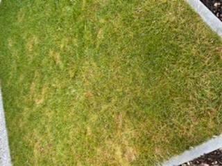 Halme frühjahr gelbe rasen Ihr Rasen