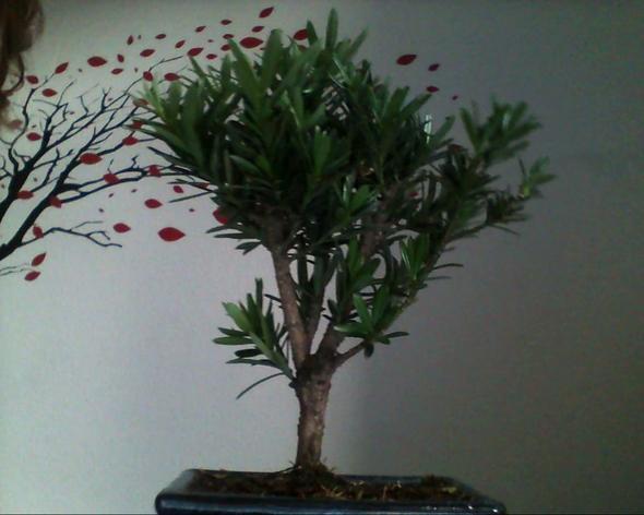 Der Bonsai von allen Seiten :1 - (Pflanzen, Baum)