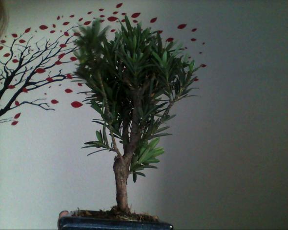 wie soll ich den bonsai gestallten pflanzen baum. Black Bedroom Furniture Sets. Home Design Ideas