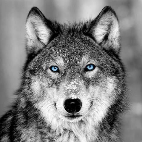 Wie sollte dieser Wolf heißen?