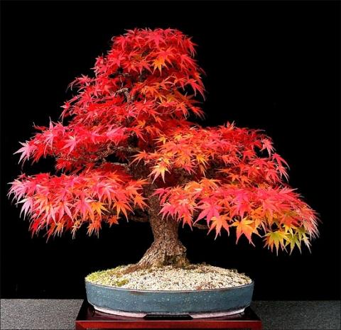 wie teuer ist so ein japanischer f cherahorn bonsai pflanzen baum botanik. Black Bedroom Furniture Sets. Home Design Ideas