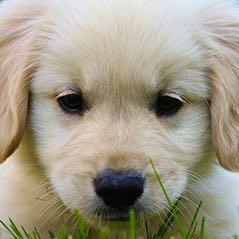 Goldener retriever - (Tiere, Hund, Kosten)