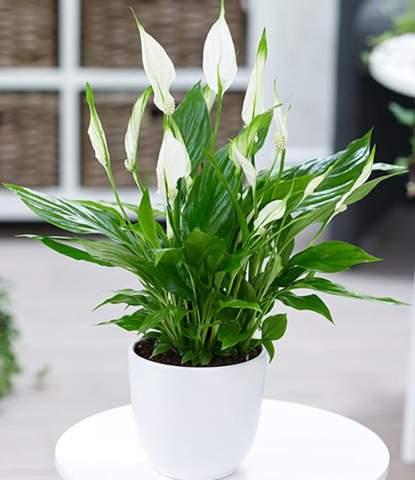 Wie vermehre ich  Spathiphyllum durch Samen aus der Blüte?