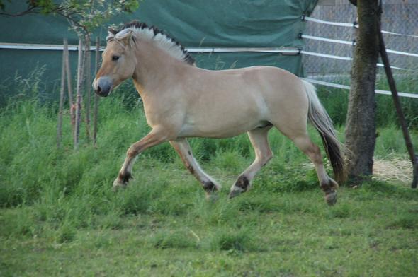 wie viel gewicht kann dieses pony tragen pferde reiten