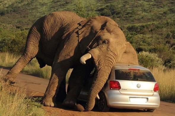 Wie viel Gewicht kann ein Elefant stemmen?