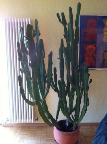 Wie viel ist dieser Kaktus wert