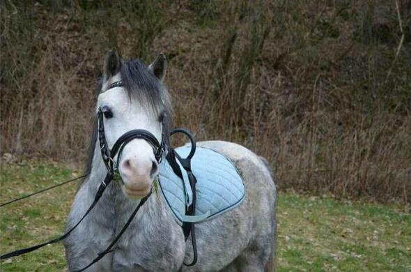 Mr.Cooper - (Pferde, verkaufen, Verkauf)