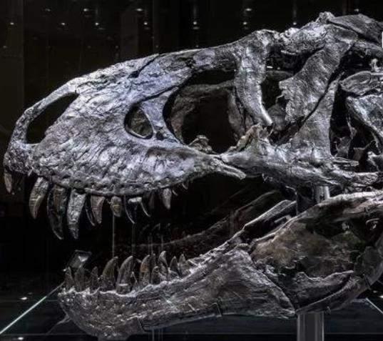 Wie viel kosten ein echter t rex Schädel?