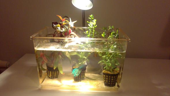 Kampffisch mit Becken - (Haustiere, Aquaristik)