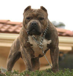 american pitbull terrier - (Hund, Natur, Umfrage)