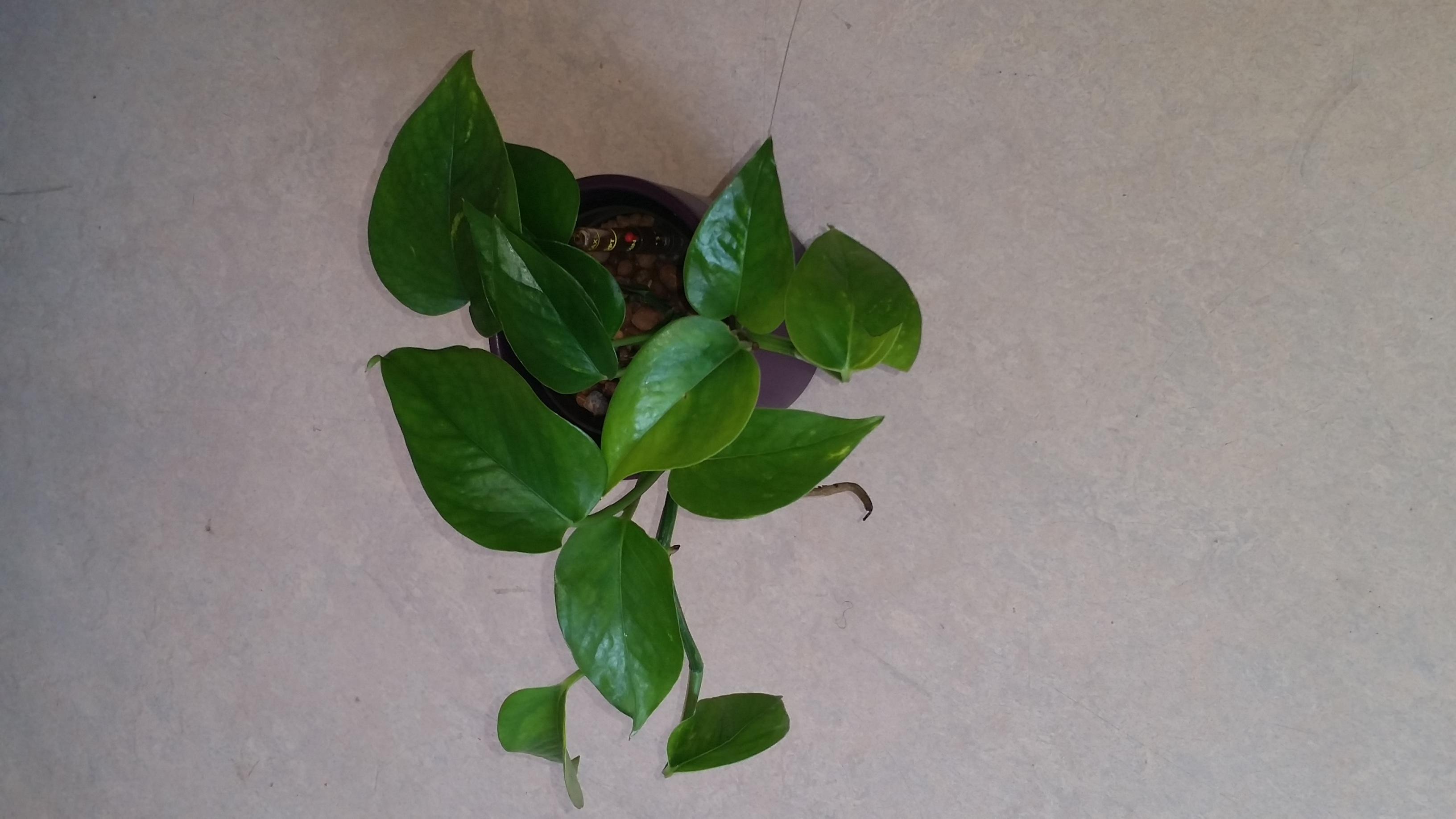 pflanzen die viel sonne vertragen x mimose samen blume raritt berhr mich pflanze garten neuheit. Black Bedroom Furniture Sets. Home Design Ideas