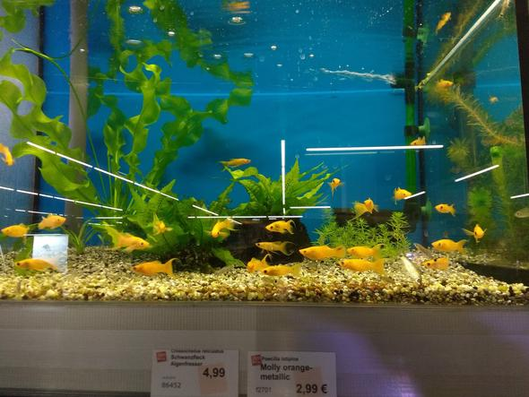 Mollyart im Zoofachgeschäft - (Fische, Aquarium, Aquaristik)