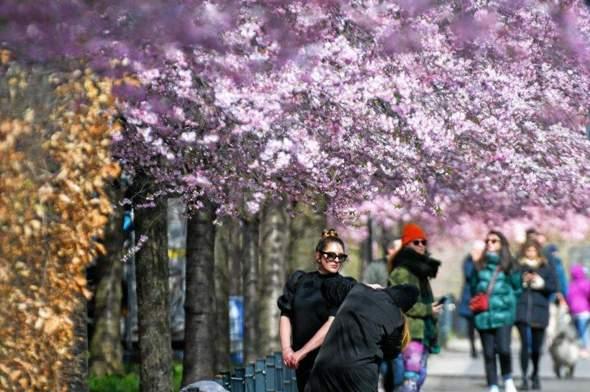 Wie wirkt sich der einwöchige Wintereinbruch auf die vielerorts jetzt schon blühenden u.a. Kirschbäume und Sträucher und die Ernte aus?
