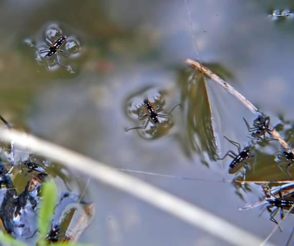 Wieder mal brauche ich Eure Hilfe bei der BESTIMMUNG von Insekten. Diese hier fand ich AUF einem Bach?