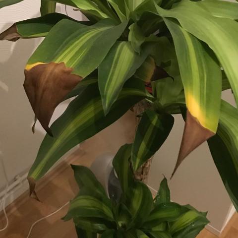Braune Spitzen - (Pflanzen, braune Blätter, Dracaena)