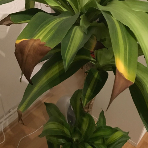 wieso bekommt meine dracaena massangeana diese braunen bl tter pflanzen braune bl tter. Black Bedroom Furniture Sets. Home Design Ideas