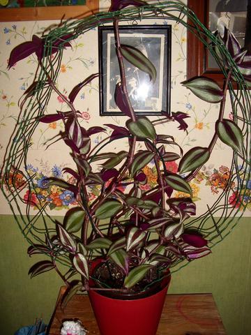 Glitzerpflanze - (Pflanzen, Blumen)