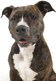 Pit Bulls Against Misinformation  What is a Pit Bull