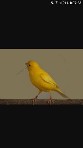 Wieviel Kostet Ein Kanarienvogel Kosten Haustiere Vogel